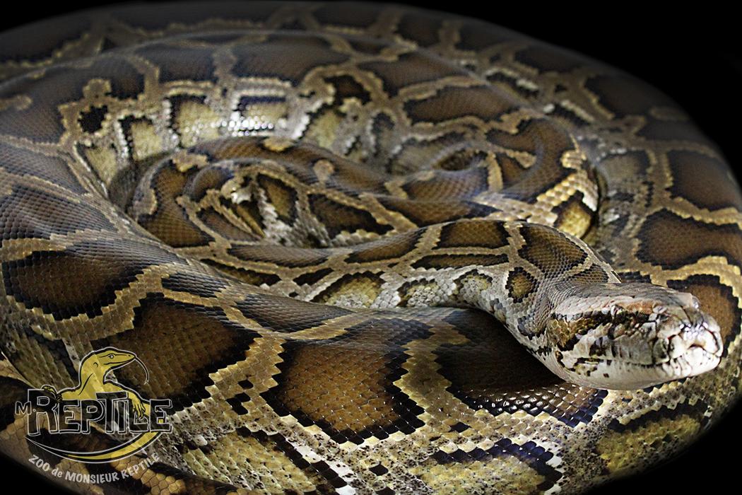 Python de Birmani régulier-web