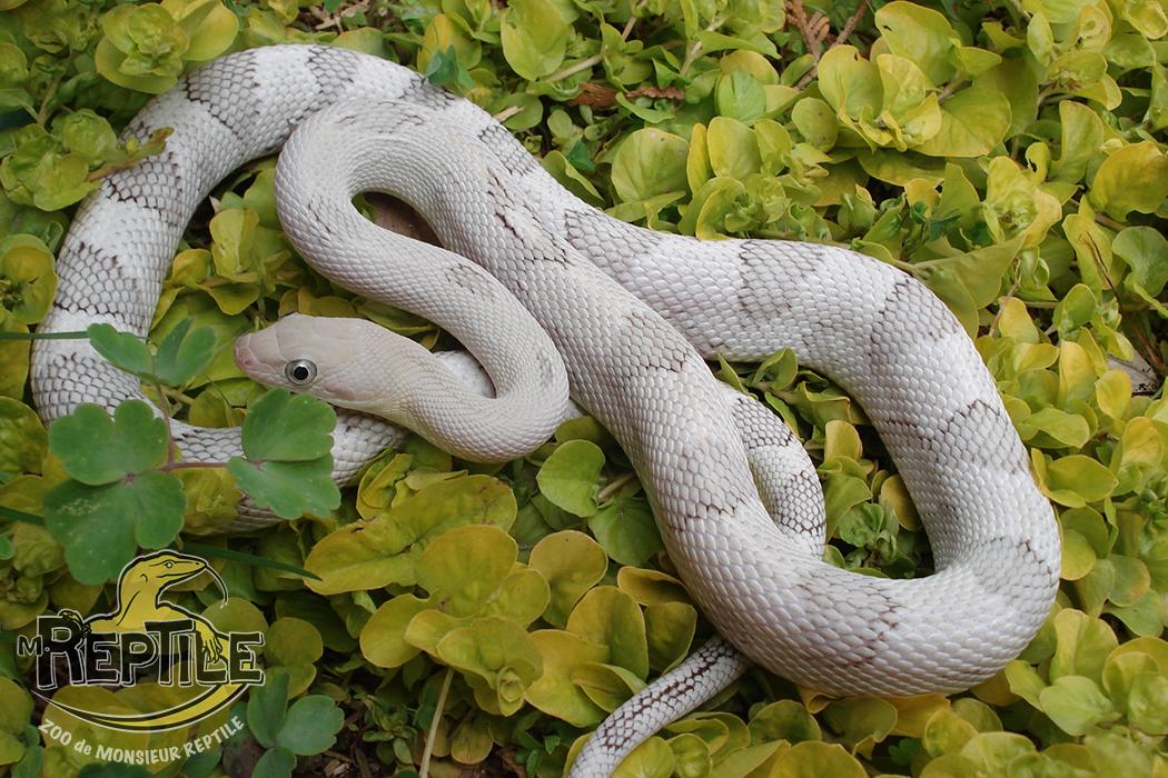 serpent blanc trans-web